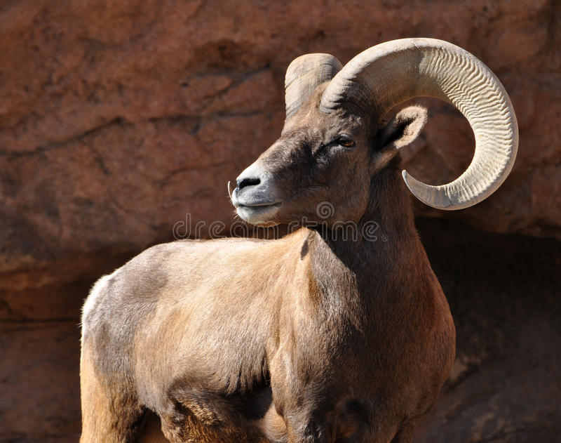 大角野绵羊公羊在落矶山 免版税库存照片