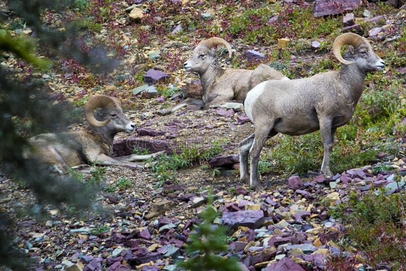 大角野绵羊在冰川国家公园 库存照片