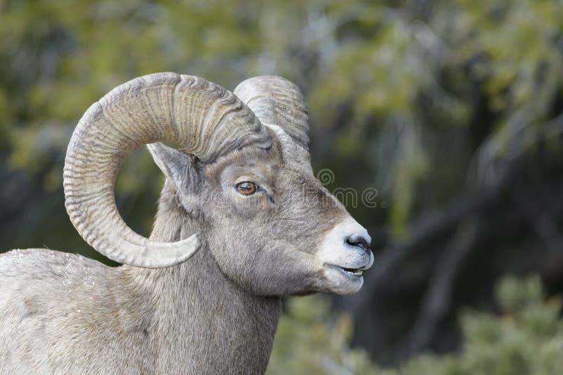 大角野绵羊男性,画象 免版税库存图片