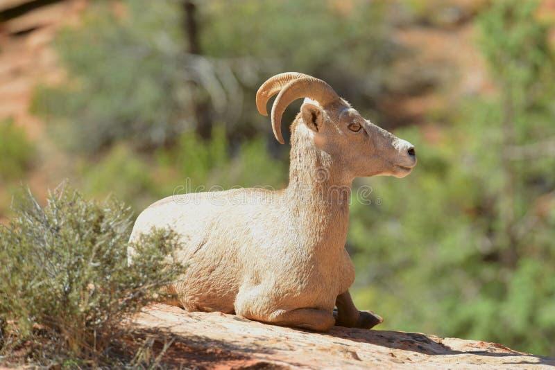 大角野绵羊 免版税库存图片