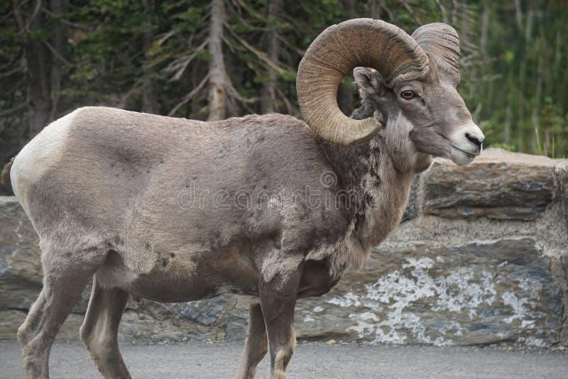 Download 大角野绵羊 库存图片. 图片 包括有 公园, 冰川, 公羊, 批次, 停车, 绵羊, 垫铁, 国家, 突出 - 59104247