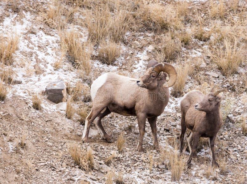 大角野绵羊Ram和母羊 免版税库存照片