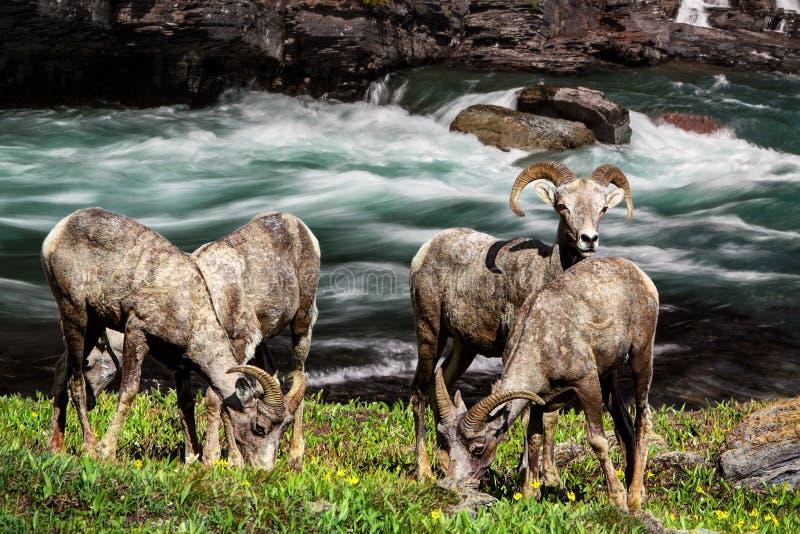 大角野绵羊Ram,冰川国家公园蒙大拿美国 库存图片