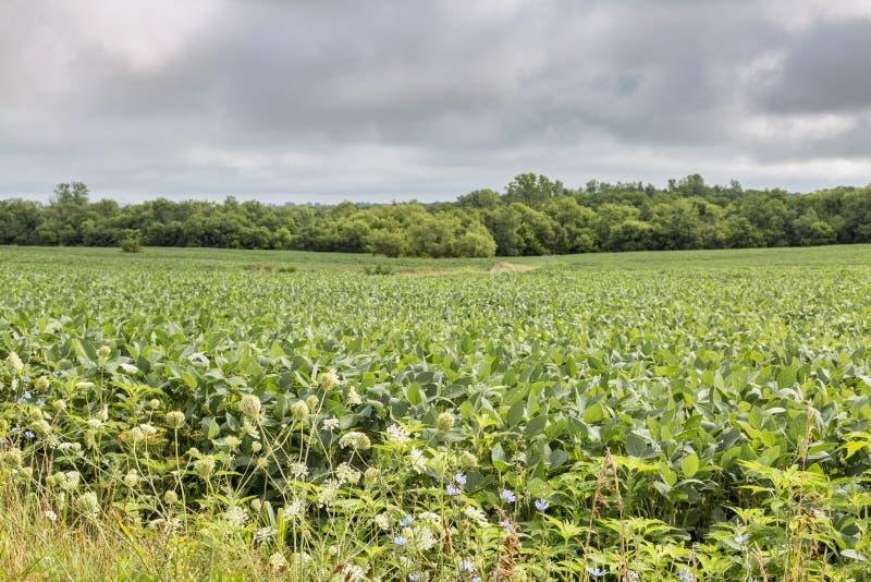 大豆庄稼在密苏里 免版税库存照片