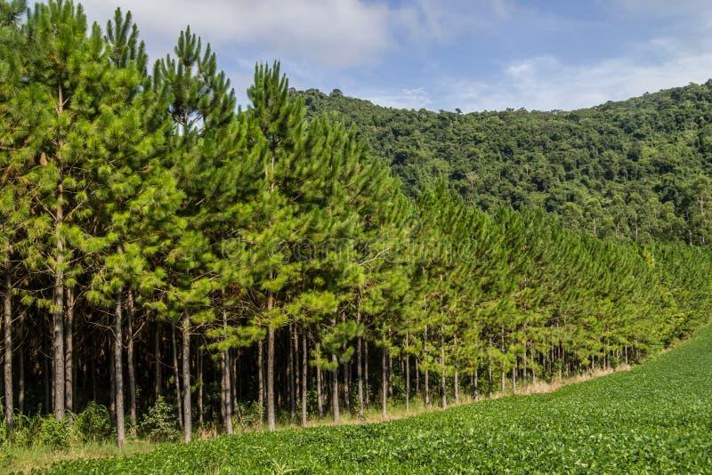 大豆种植园和杉木森林 免版税库存图片