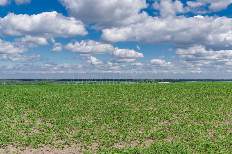 大豆领域在夏天 库存照片