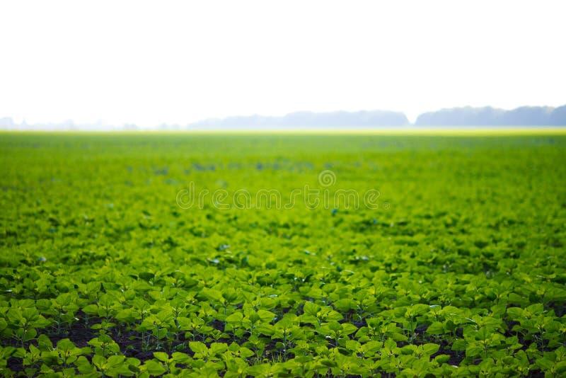 大豆领域 免版税库存照片