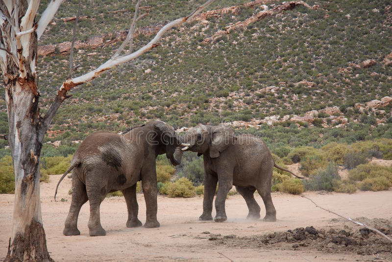 大象二个年轻人 免版税库存照片