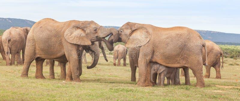 大象互相问候 库存图片