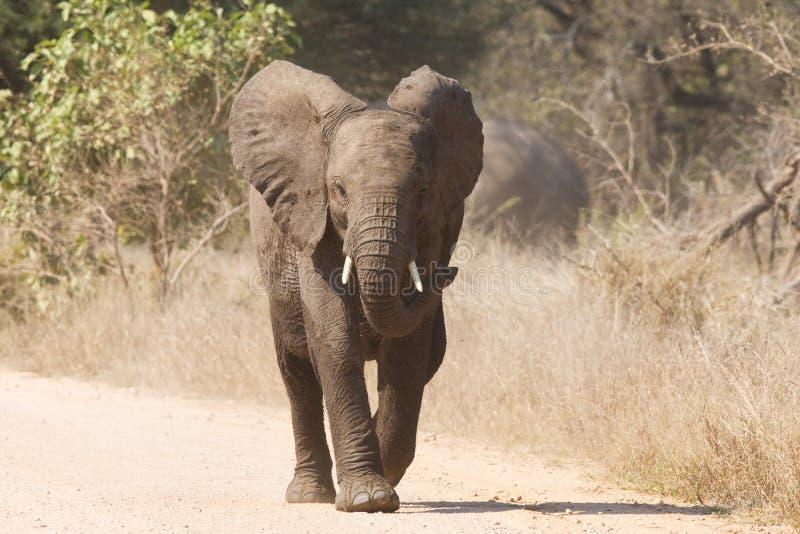 年轻大象充电积极沿追逐危险的路 免版税图库摄影