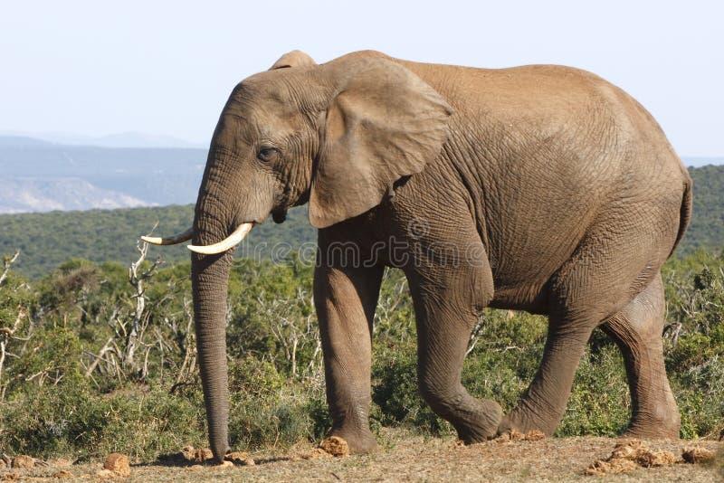 大象公牛关闭 免版税图库摄影