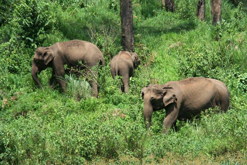大象印第安通配 库存图片