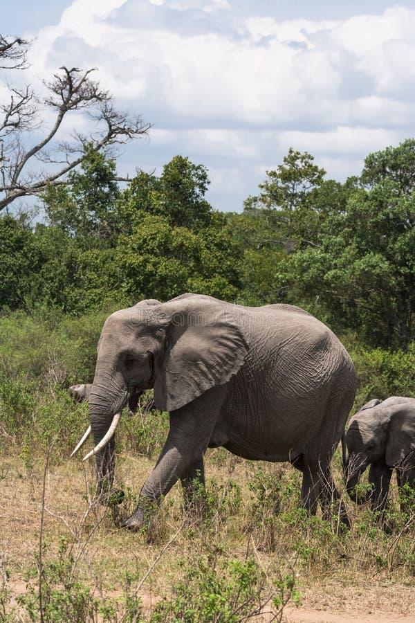 大象和婴孩大象在大草原 肯尼亚mara马塞语 免版税库存图片