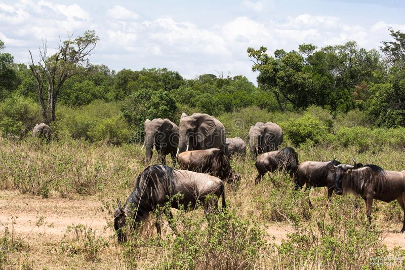 大象和角马在非洲的大草原 肯尼亚mara马塞语 库存照片