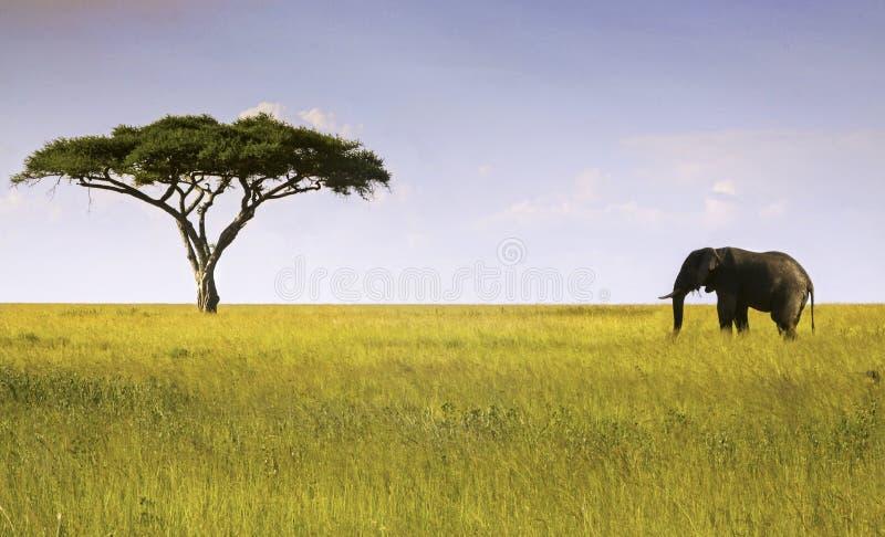 大象和金合欢树塞伦盖蒂国家公园 库存图片