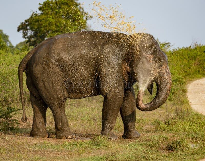 大象喷洒在它的后面上的泥泞的水 免版税库存照片