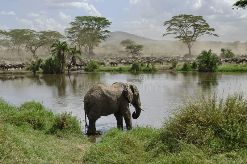 大象国家公园河serengeti 免版税图库摄影
