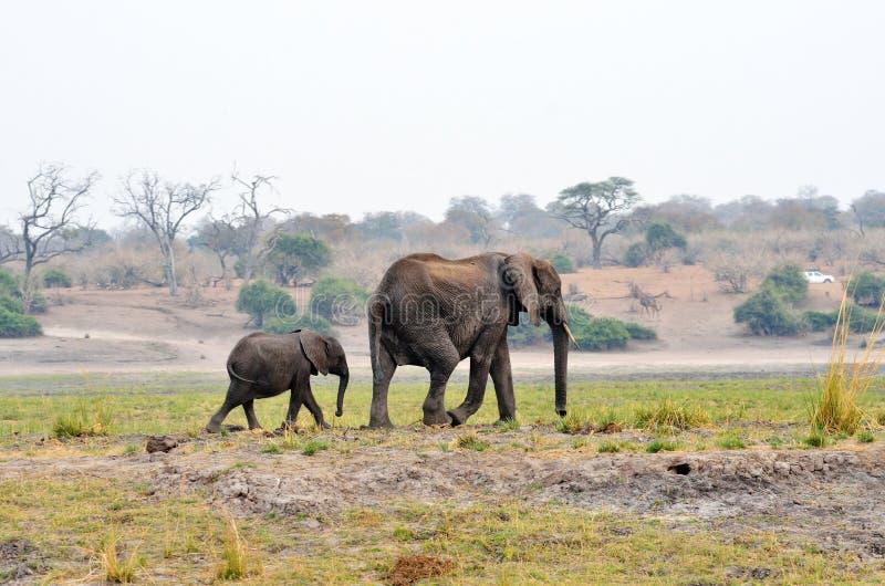 大象在乔贝国家公园,博茨瓦纳 免版税库存图片