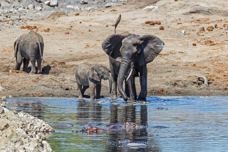 大象在克留格尔国家公园 免版税库存图片