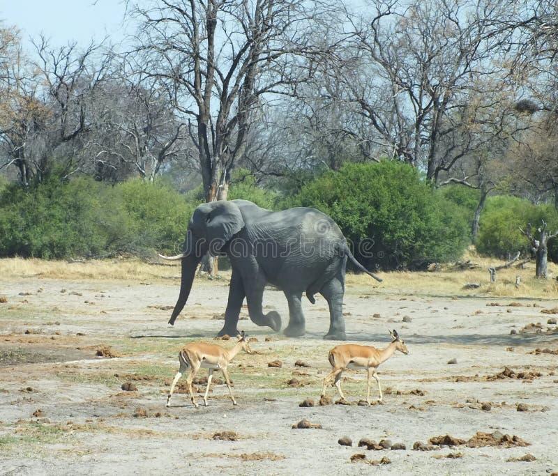 大象在博茨瓦纳非洲 免版税库存图片