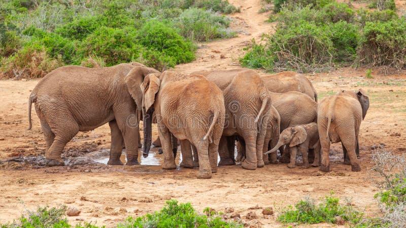 大象在阿多象国家公园喝酒 免版税库存照片