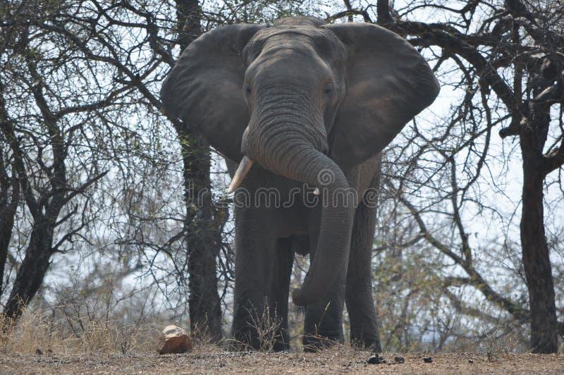 大象在更加伟大的克留格尔国家公园 免版税库存照片