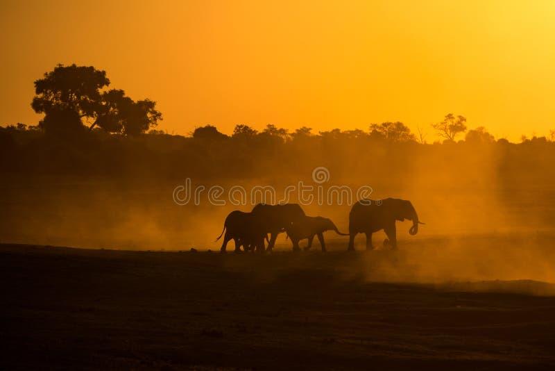 大象在chobe国立公园现出轮廓 库存图片