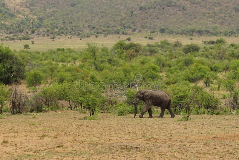 大象在Pilanesberg国家公园 库存图片
