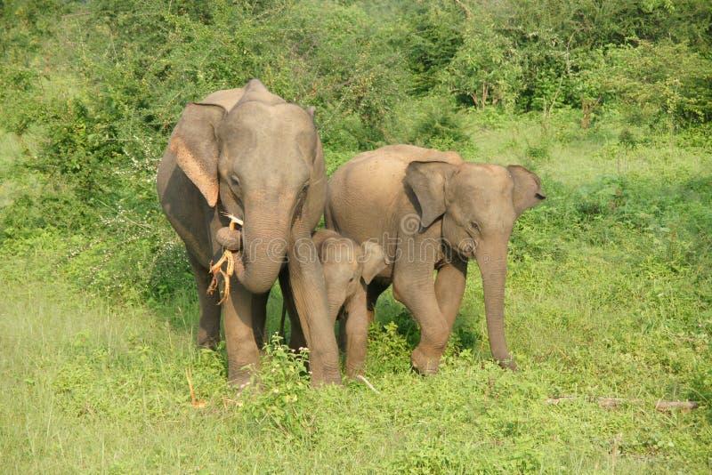 大象在udawalawe国家公园 免版税库存图片