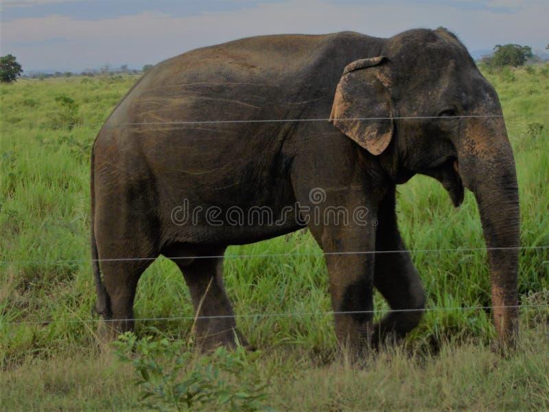 大象在Udawalawe斯里兰卡 免版税库存图片
