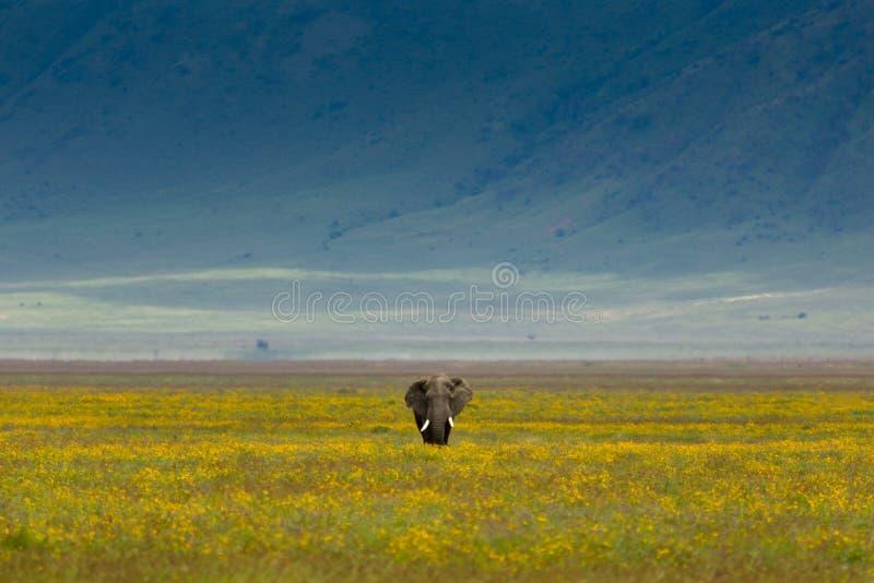 大象孤立无格式走 免版税库存照片