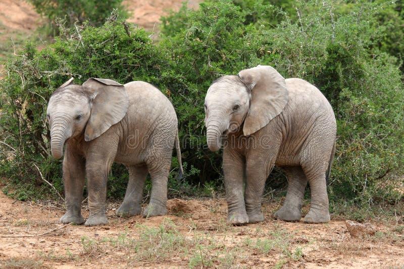 大象孪生 库存照片