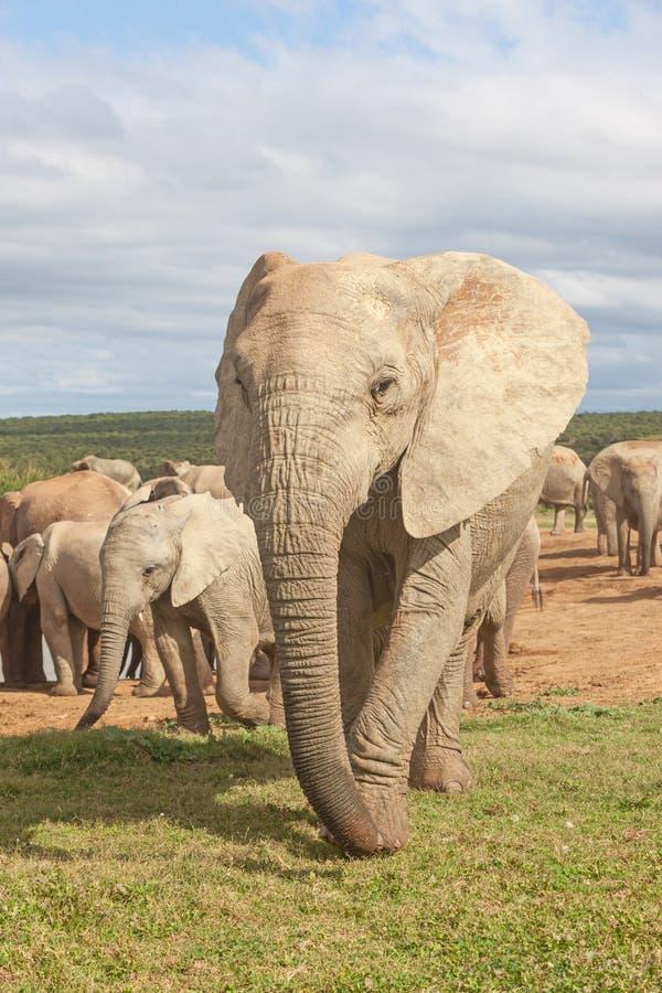 大象守望 免版税图库摄影
