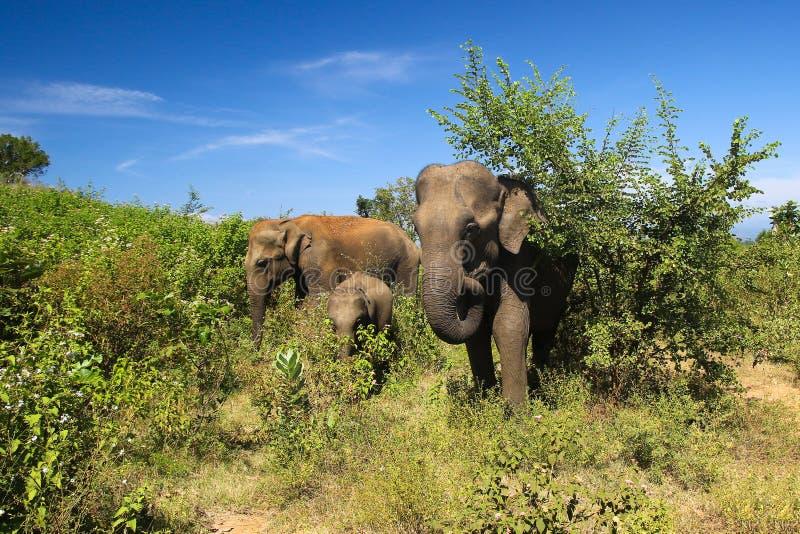 大象家庭亚洲象属maximus,在Udawalawe国家公园 免版税库存图片