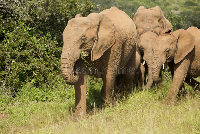 大象家庭吃 免版税库存照片