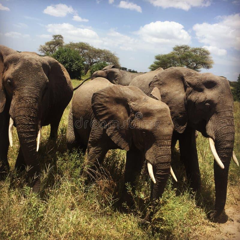 大象家庭在坦桑尼亚在我们旁边catched  免版税图库摄影