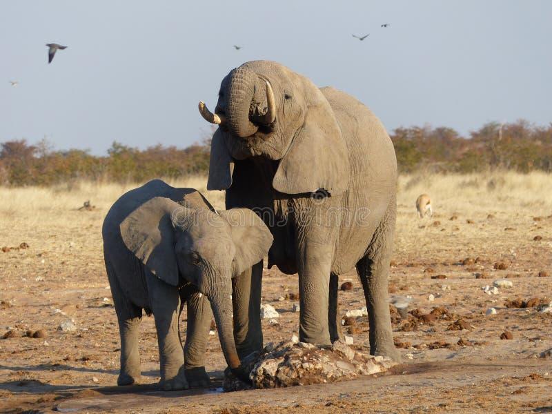 大象家庭在Etoscha Nationnal公园 免版税库存图片