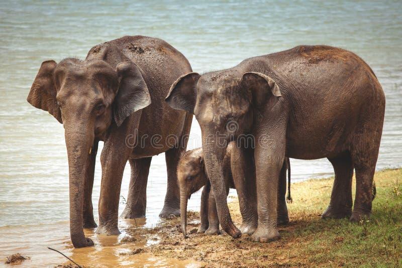 大象家庭是从河的饮用水 图库摄影