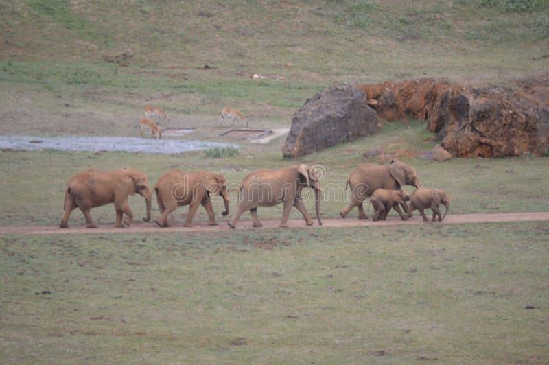 大象家庭的画象在铁提取Cabarceno老矿自然公园  2013?8?25? Cabarceno, 免版税库存图片