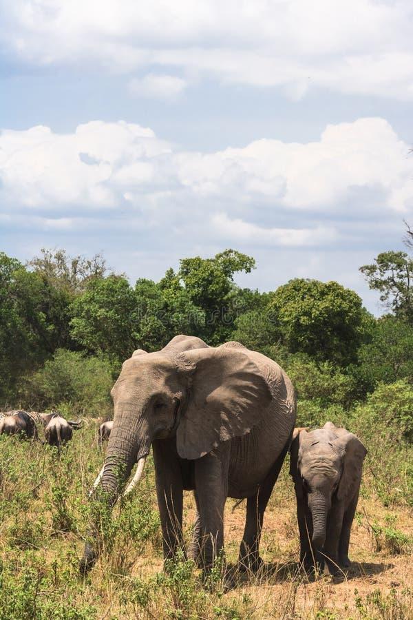 大象家庭穿过路 肯尼亚mara马塞语 库存图片