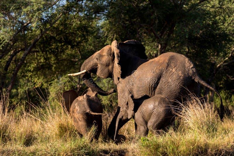 大象家庭赛跑 库存照片