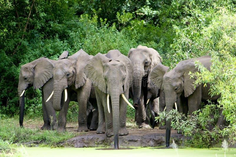 大象家庭饮用水 库存图片