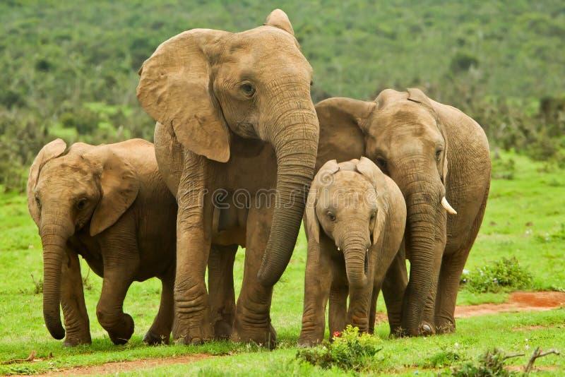 大象家庭 免版税库存图片