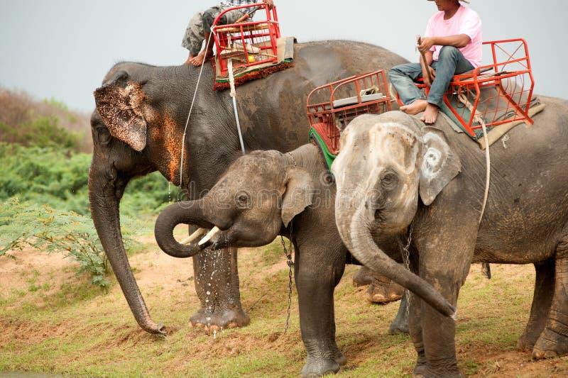 大象家庭hapiness用在整理游行以后的水 免版税库存图片