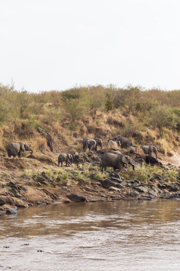 大象小牧群在河岸的 肯尼亚mara马塞语 闹事 免版税图库摄影