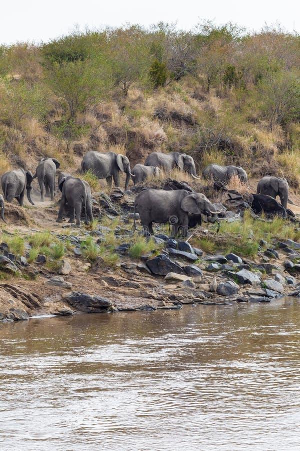 大象小牧群在石岸的 肯尼亚mara马塞语 闹事 免版税库存图片