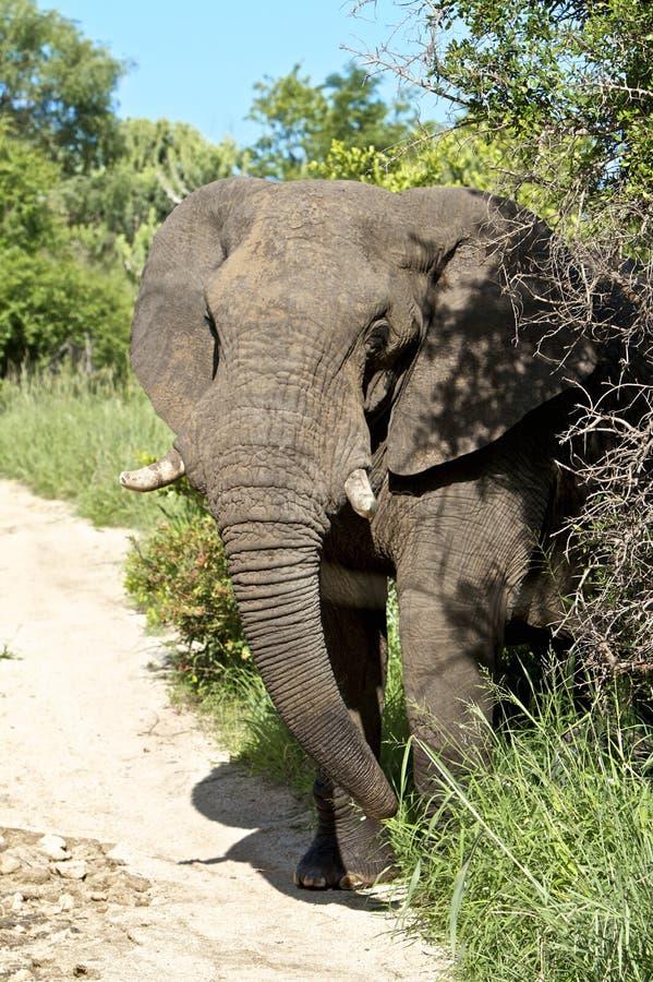 大象惊奇 免版税库存照片