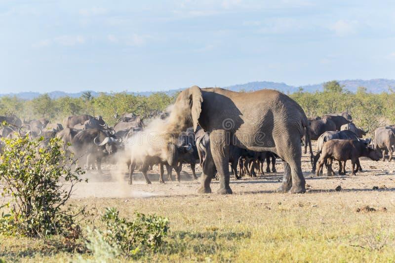 大象打扫灰尘  免版税库存照片