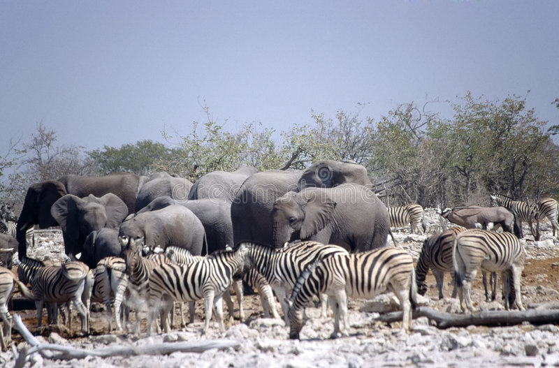 大象斑马 库存照片