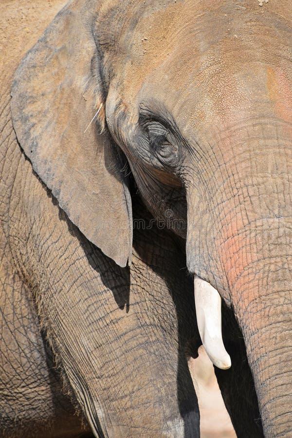 大象极端接近的半外形画象  图库摄影